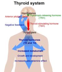 Thyroid_system
