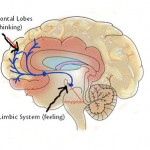 Prefrontal Cortex and Limbic System